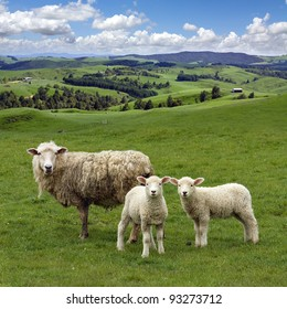 Sheep and two lambs grazing on the picturesque landscape background, Waikato,  New Zealand.