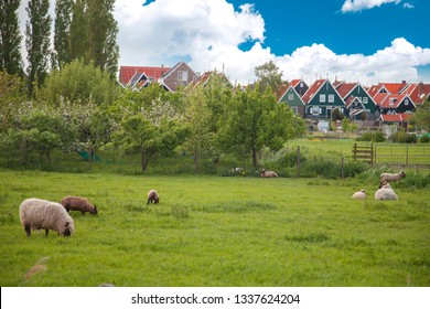 sheep in Volendam. Holland