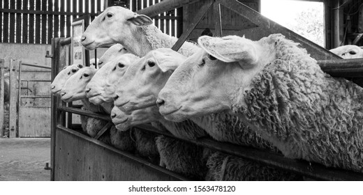 sheep waiting for their feed