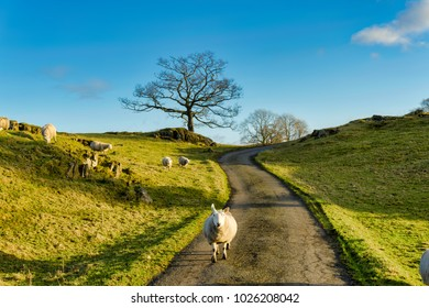 A sheep walking down a country lane in Cumbria, Northern England