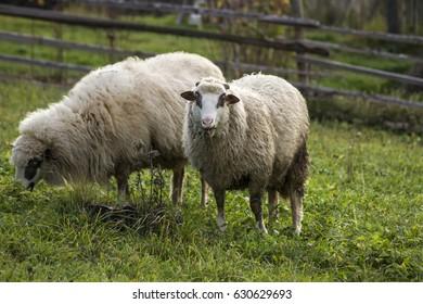 sheep watch eat
