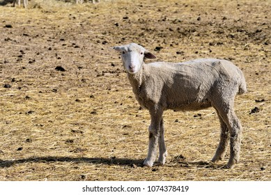 Sheep, a week or so after being shorn, in Holding fields. Hay feed.