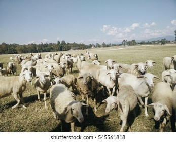 The sheep were being sheared.