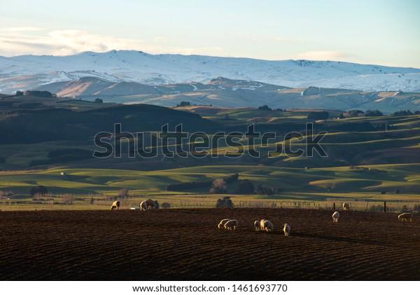 Sheep of West Otago farms, New Zealand