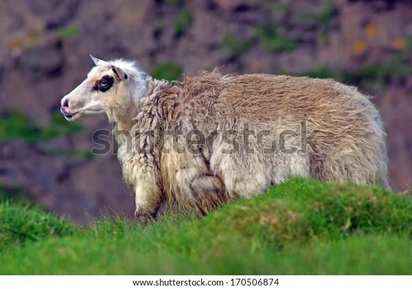 Sheep, Westfjord, iceland