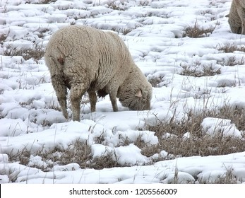 Sheep in winter pasture