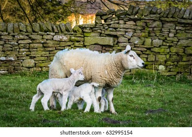 Sheep With Young Baby Sheep with stone wall in the background, Springtime, England UK