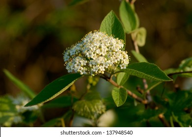 A sheepberry viburnum (Nannyberry, Viburnum lentago) flower head lit in the golden glow of the setting sun.  Also visible are the lamb's ear shaped leaves of this popular landscaping shrub.