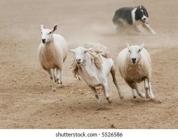 A sheepdog chasing a group of sheep in a dirt field.