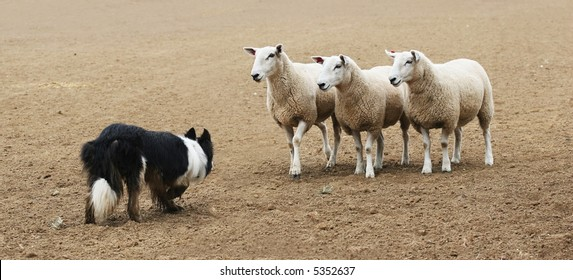 A sheepdog facing a few sheep in a dirt field.