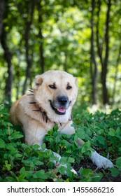 sheepdog and forest Anatolia - Image