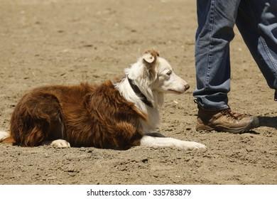 Sheepdog Wait
