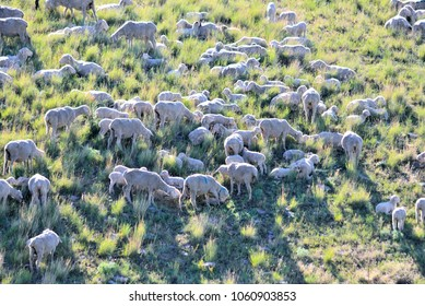 Sheep--Ewes and Lambs on Montana mountainside