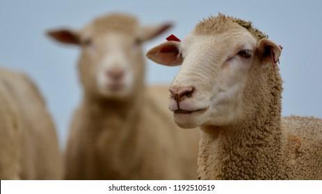 sheepish images stock photos vectors shutterstock