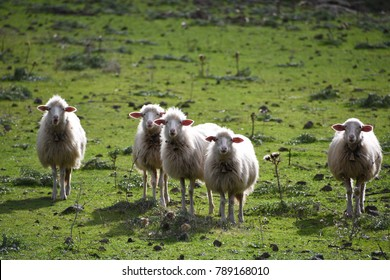 sheeps against the backdrop of the beautiful landscapes of Sardinia, Italy