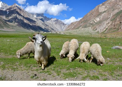 Sheeps with beautiful view on the way from Kargil to Zanskar, Ladakh, India