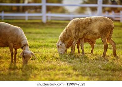Sheeps in da field