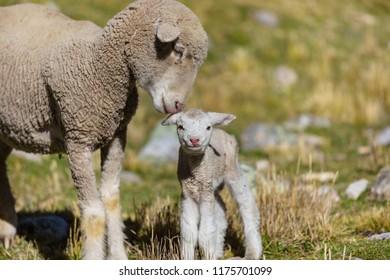 Sheeps family in mountain meadow