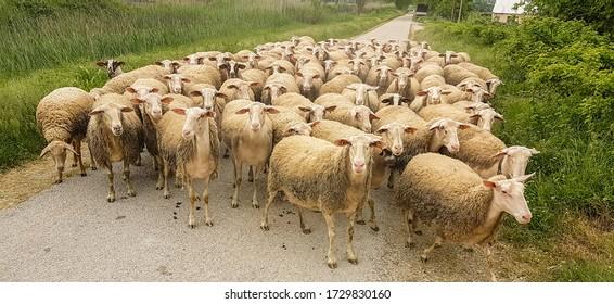 les moutons affluent sur la route en passant par la grèce du printemps