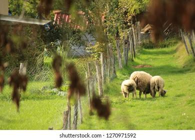 Sheeps in a garden in Avanne, Franche-Comté, France