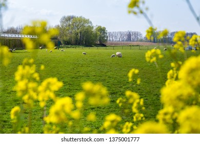 Sheeps grazing in a field surrounded by yellow wild flowers during springtime in the Netherlands.