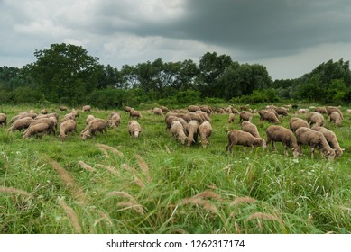 Sheeps grazing on green field before storm