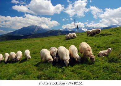 Sheeps grazing on mountain pasture of High Tatra mountains