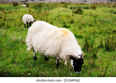 Sheeps grazing in the Scottish highlands
