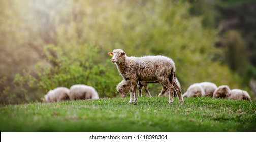 Sheeps group and lambs on a meadow with green grass. Flock of sheep in sun rays spring background.