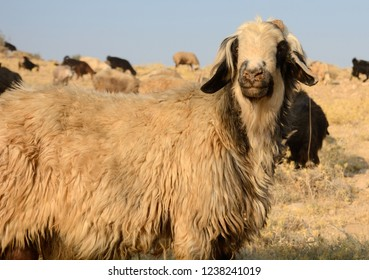 Sheeps held by Qashqai people in countryside Iran