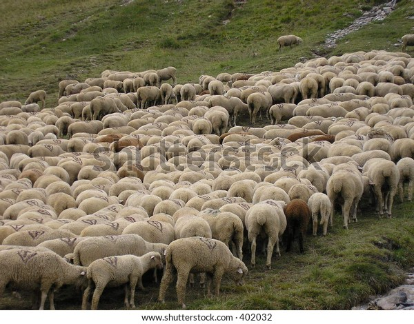 Sheeps herd