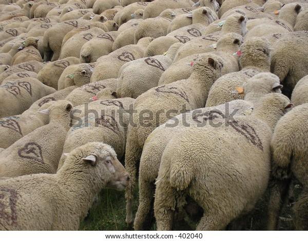 Sheeps herd