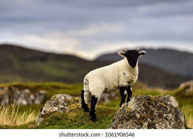 Sheeps at the Isle of Skye