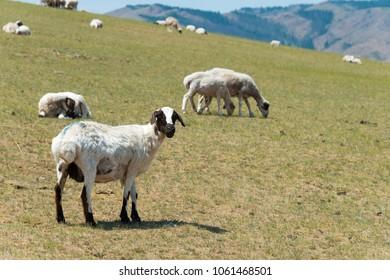 Sheeps in Kharkhorin (Karakorum), Mongolia.