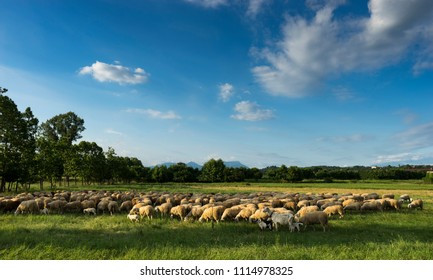 sheeps with lambs in the italian country at the sunset