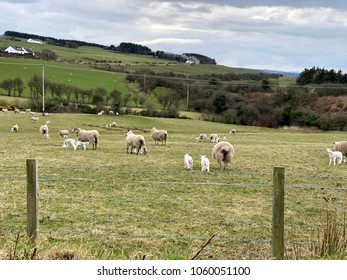 Sheeps and lambs on spring pasture in beautiful hill surroundings, close to Dunure Castle near Ayr in Ayrshire, Scotland.
