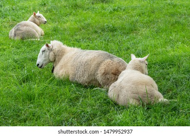 Sheeps laying on green grass pasture