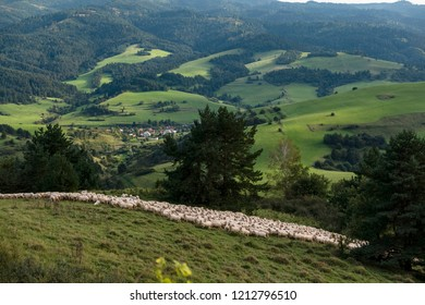 Sheeps in a meadow in the alpine pastures in the Slovakia mountains. Beautiful natural landscape.