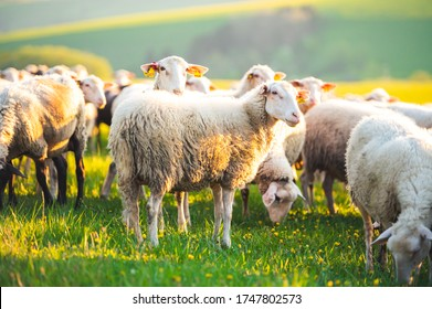 Sheeps in a meadow on green grass at sunset. Portrait of sheep. Flock of sheep grazing in a hill.