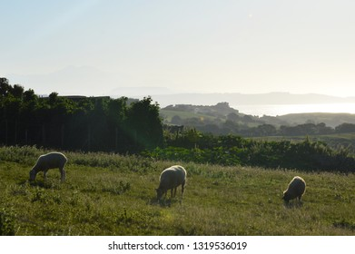 Sheeps in the meadows of Cantabria