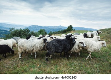 sheeps in the mountains of Carpathians