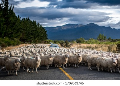 Sheeps moving, Te Anau, New Zealand
