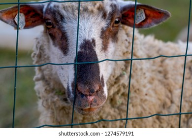Sheep's muzzle behind the green metal fence. Sheep's nostrils and mouth pink and brown with black spots.