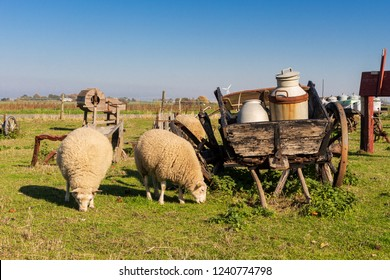 sheeps next to an old carriage with milk cans