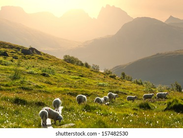 Sheeps  in Norway