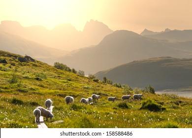 Sheeps  in Norway