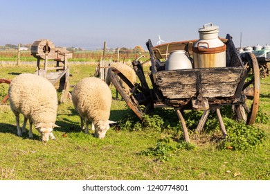 sheeps and an old carriage with milk cans at the Island of Moen in Denmark