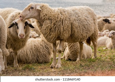 sheeps on green, one sheep in focus