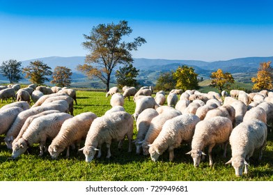 Sheeps on the meadow at autumn