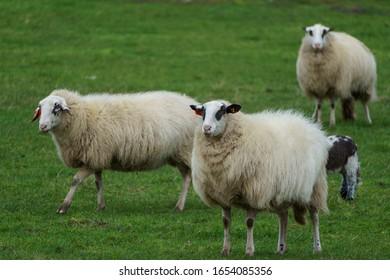 sheeps  on a Meadow in germany